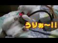 スイングチューチューと三又トンネルで遊ぶ猫【音楽付き】