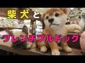 柴犬とフレンチブルドッグに魅了 陶器の犬の置物